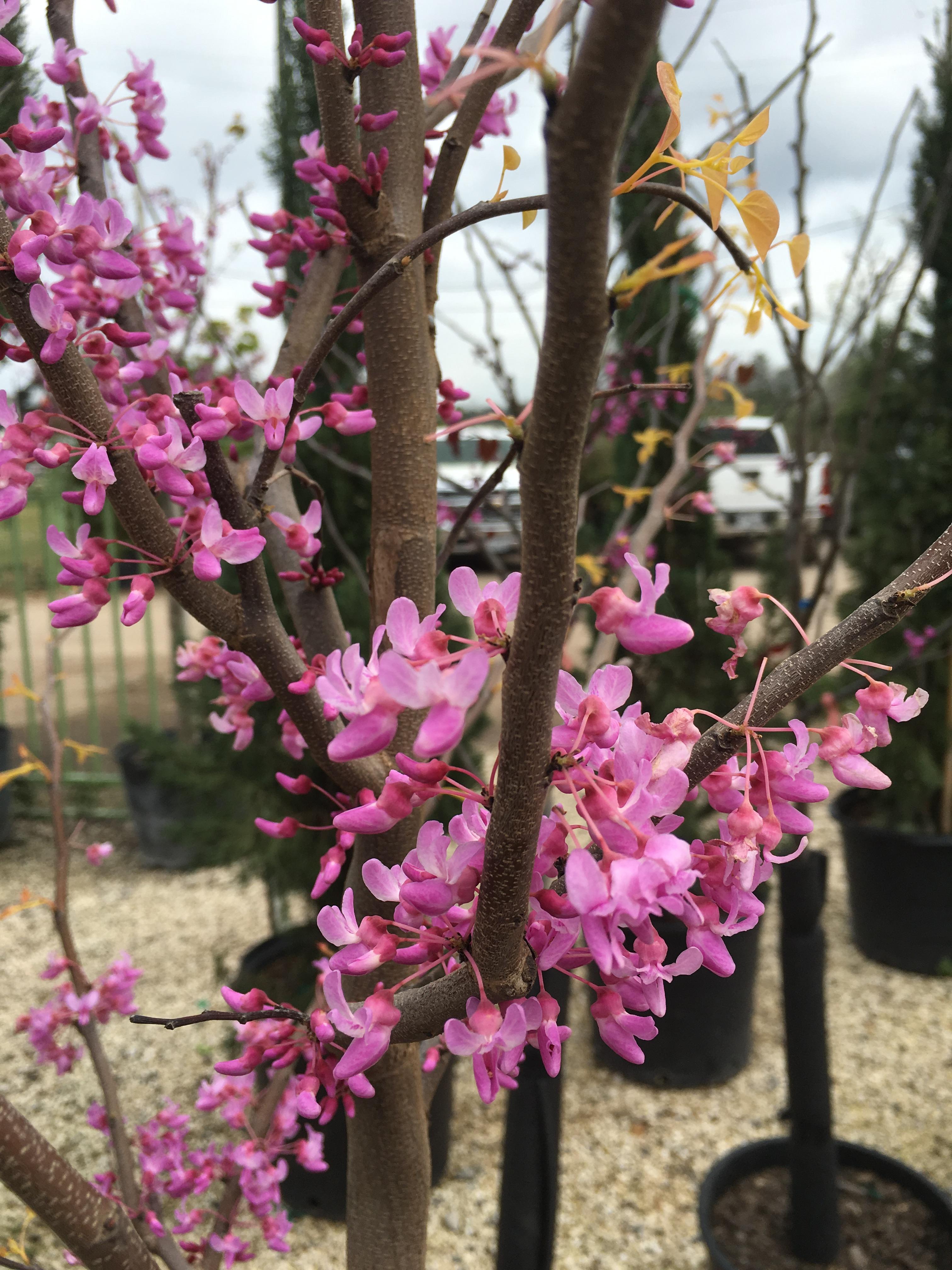 Texas redbud is blooming shades of texas nursery landscaping texas redbud is blooming mightylinksfo