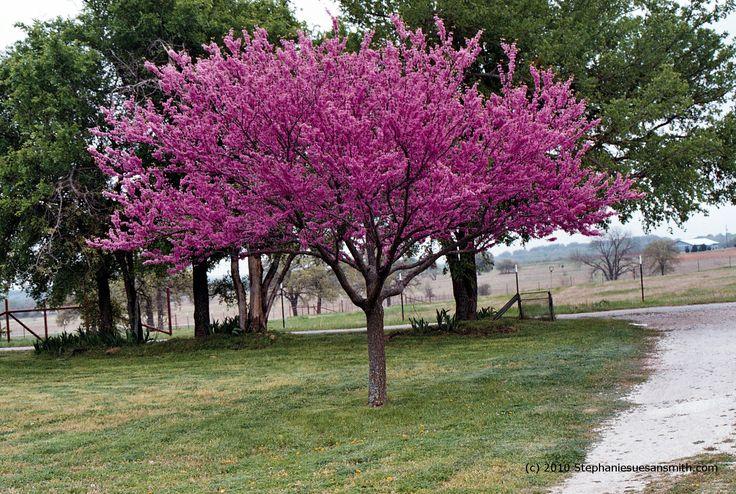 Texas Redbud Is Blooming Shades Of Texas Nursery Landscaping