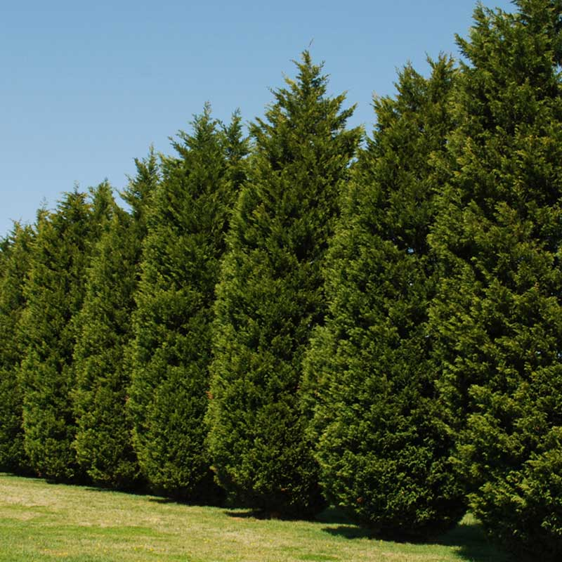 Leyland Cypress Shades Of Texas Nursery Amp Landscaping