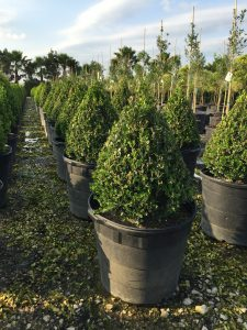 Shrubs Shades Of Texas Nursery Landscaping The Woodlands